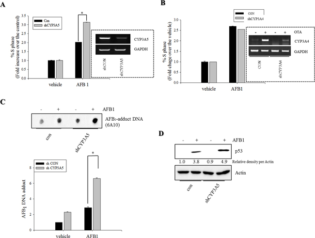 Roles of CYP3A5 gene depletion in S phase arrest and AFB1-DNA adduct in human intestinal epithelial cells.