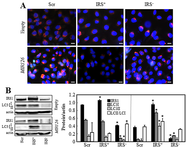 Oncotarget Microrna 126 Induces Autophagy By Altering Cell