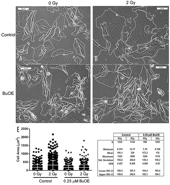 MnTnBuOE-2-PyP mitigates radiation-induced increase in cell size of primary colorectal fibroblasts.