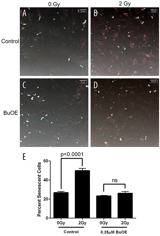 Radiation-induced senescence is reduced in primary colorectal fibroblasts grown in MnTnBuOE-2-PyP.
