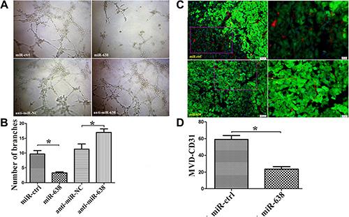 miR-638 inhibits tumor angiogenesis in vitro and in vivo.