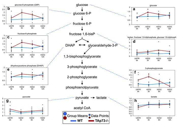 Glycolysis is increased early only in TAp73-/-following H