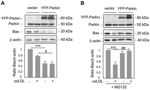 Parkin overexpression decreases Bax levels.