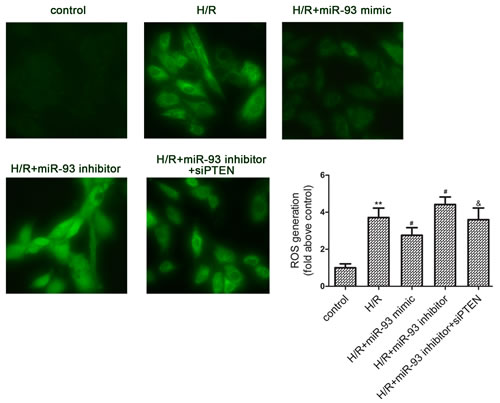 Effects of miR-93 on H/R-induced ROS generation in H9c2 cells.