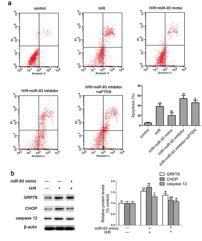Effects of miR-93 on H/R-induced apoptosis in H9c2 cells.