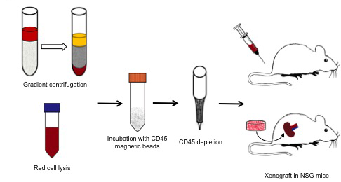 Blood from prostate cancer patients was either placed atop of a Ficoll-Paque PLUS gradient column or subject to red cell lysis; then the nucleated cells were incubated with CD45 magnetic beads and hematopoietic CD45-expressing cells removed from the mixture.