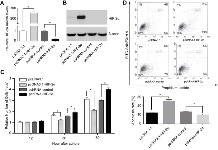 HIF-2α inhibited HCC cell proliferation mainly through inducing apoptosis in vitro.