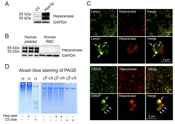 Expression of heparanase and GAGs in human and mouse platelets.