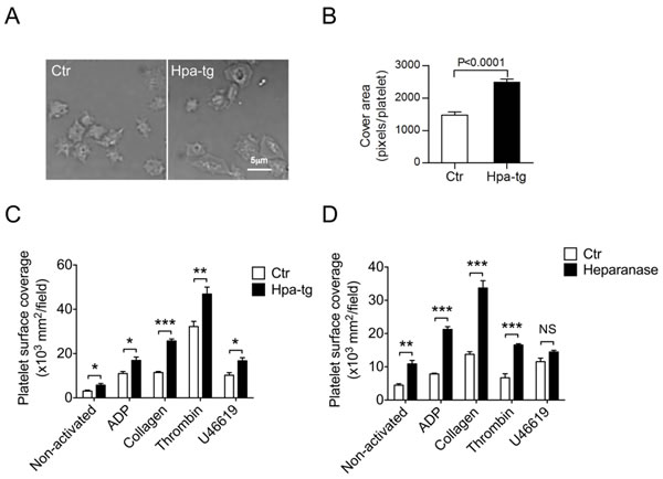 Higher adhesion and spreading activity of Hpa-tg platelets.