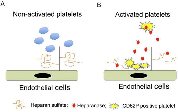 Illustration of the molecular mechanism of heparanase-mediated platelet adhesion.