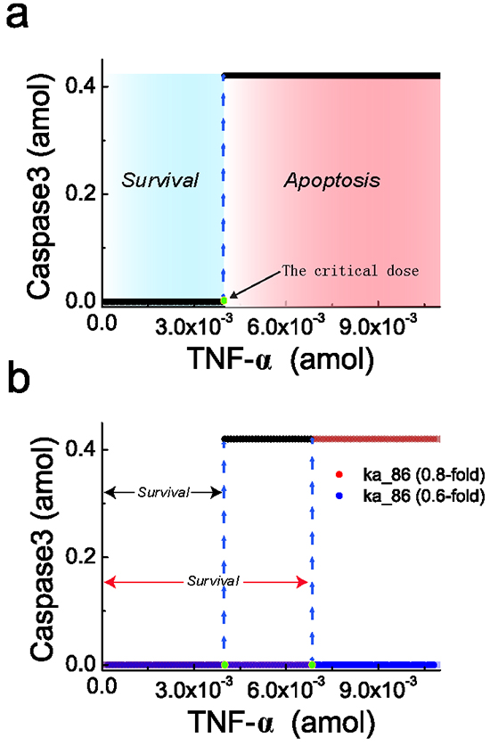 Steady-state behavior of caspase3 responding to TNF-α stimulation.