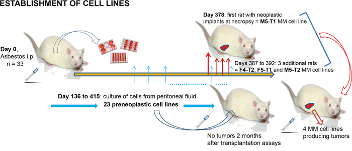 Establishment of the preneoplastic and neoplastic cell lines in F344 rats.