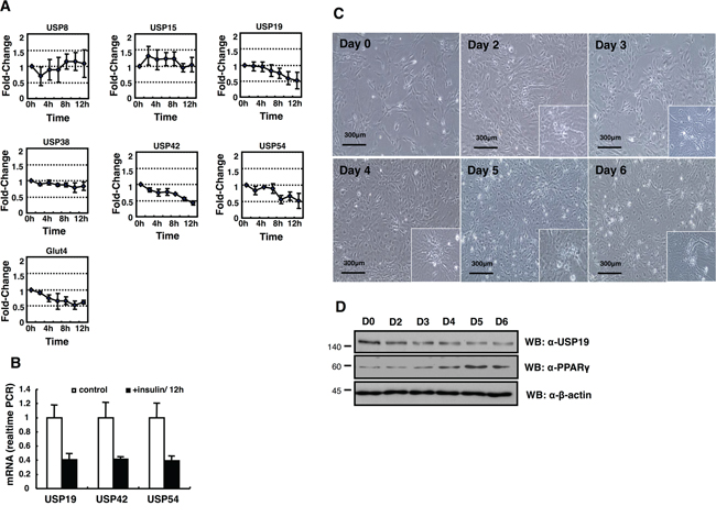 Expression profiling of DUB genes in the insulin-treated 3T3-L1 cells.