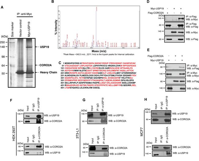 Putative binding proteins of USP19.