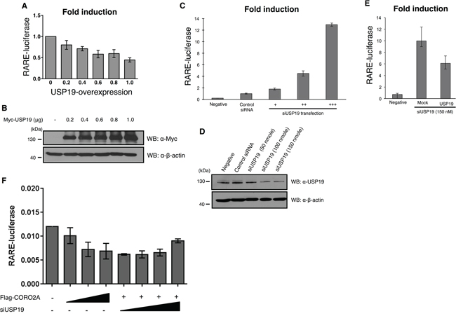 Effect of depletion of USP19 on RAR and PPAR-γ transcriptional activity.