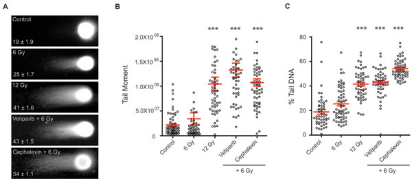 Cephalexin increases persistent DNA damage in irradiated B16.SIY cells.