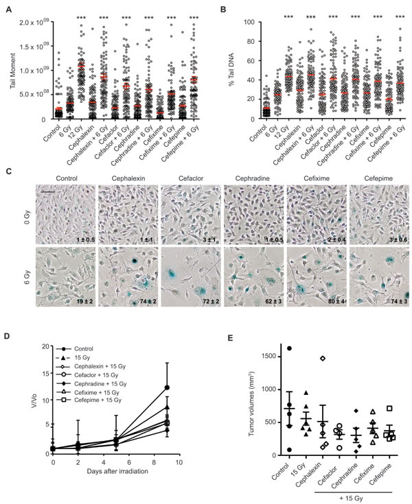 Beta-lactam antibiotics increase DNA damage and senescence in irradiated B16.SIY cells.