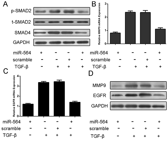 MiR-564 overexpression repressed the p-SMAD, SMAD4, EGFR and MMP9 expression.