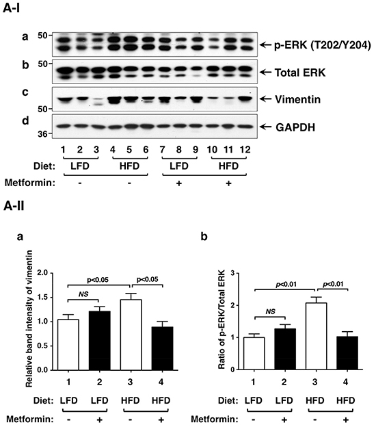 Effects of metformin on protein levels of ERK, vimentin and key regulators of integrin signaling pathway in the thyroids of LFD- or HFD- ThrbPV/PV Pten+/−mice.