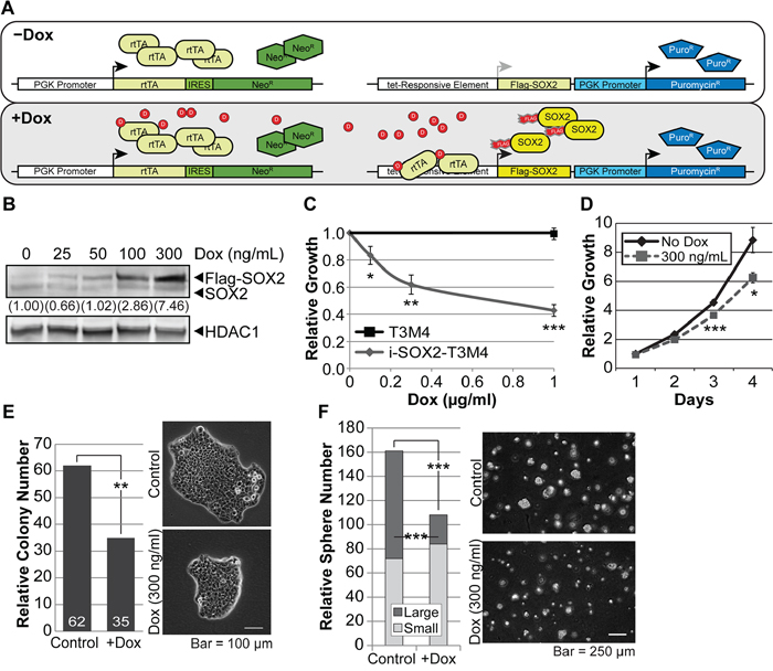 Overexpression of SOX2 in PDAC cells reduces proliferation.