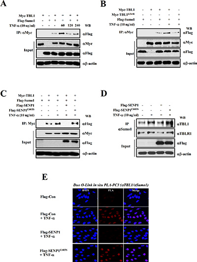 SENP1 suppresses TNF-α-induced TBL1 SUMOylation.