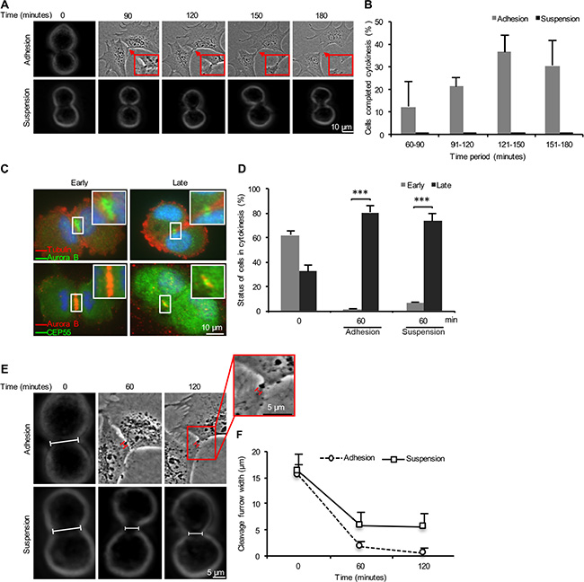 Adhesion-dependent and –independent stages of cytokinesis in non-transformed fibroblasts.