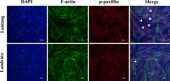 The distribution of focal adhesions (FAs) and F-actin filaments during SC migration grown on FN.