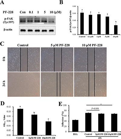 The effect of inhibition of p-FAK by PF-573228 on SC migration and adhesion.