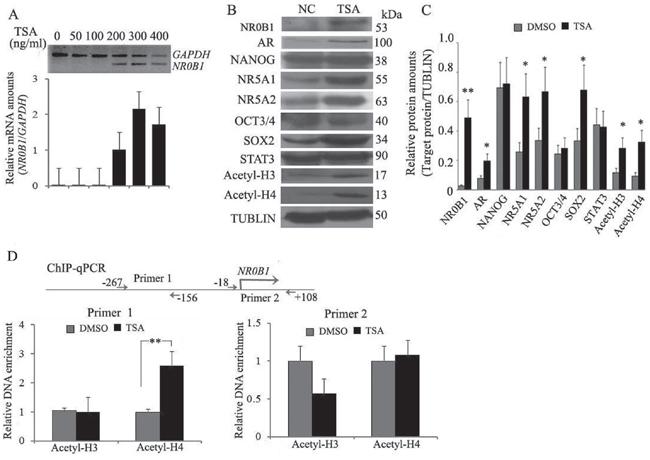 Histone H4 acetylation promotes NR0B1 gene expression.