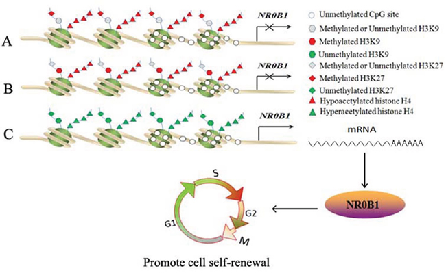 Proposed model for the in vivo epigenetic regulation of NR0B1 expression.
