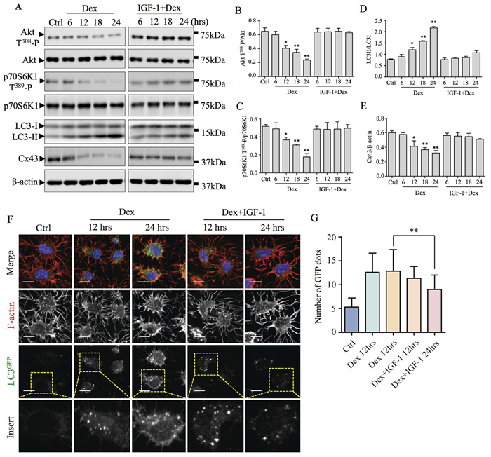 Akt-mTORC1 signaling pathway is involved in Dex-induced autophagy and Cx43 degradation.
