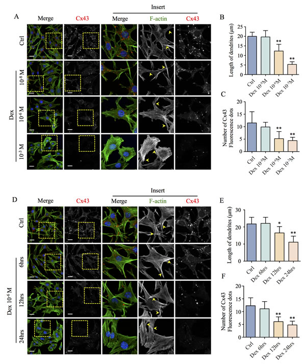 Effects of Dex on MLO-Y4 osteocyte-like cell morphology and Cx43 expression