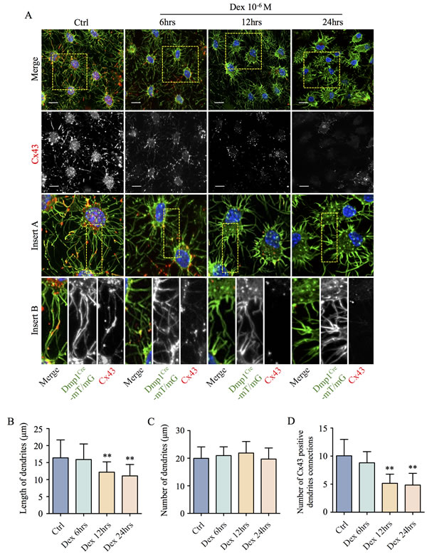 Dex induces time-dependent shortening of dendritic processes, decrease connectivity and reduced expression of Cx43 in primary calvarial osteocytes