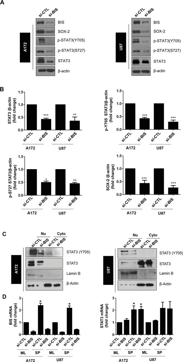 BIS knockdown decreased the total STAT3 protein, but not mRNA, levels in spheres of A172 and U87 cells.