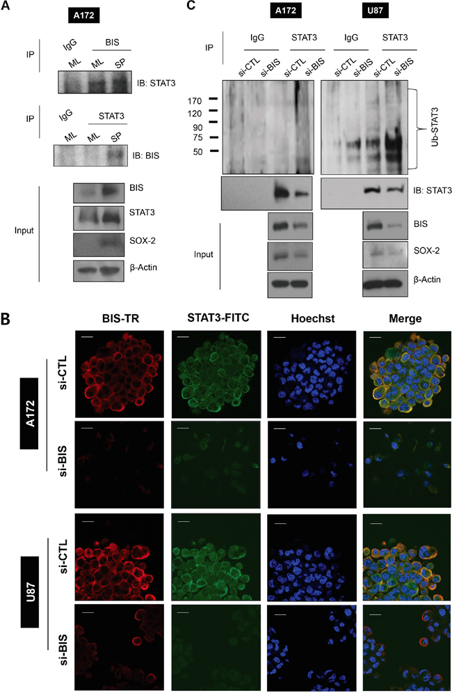 BIS interacts with STAT3 and BIS knockdown increases STAT3 ubiquitination.