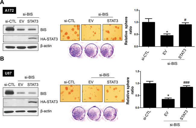 STAT3 overexpression reverses sphere-forming activity in BIS-knockdown glioblastoma cells.