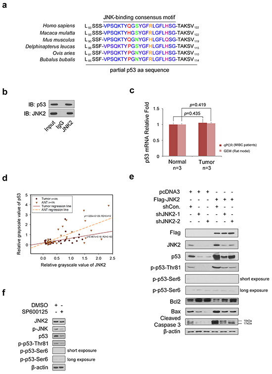 JNK2 promotes p53 stability and apoptosis activity through phosphorylation of p53 at Thr81