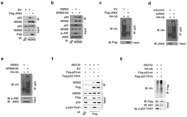 JNK2 prevents p53 from mdm2 mediated degradation
