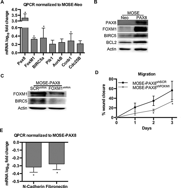 PAX8 expression in MOSE cells increases the FOXM1 pathway.
