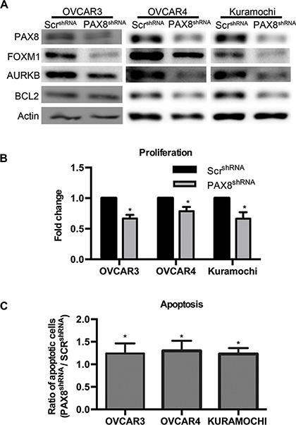 Loss of PAX8 reduces FOXM1 in HGSC.