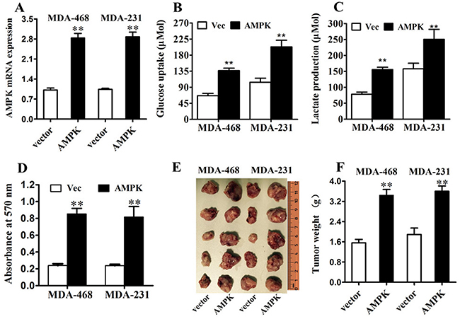 AMPK up-regulation increases glucose metabolism and proliferation in triple negative breast cancer in vitro and in vivo.