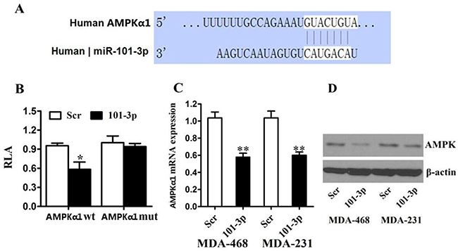 AMPK is a direct target of miR-101 in breast cancer.
