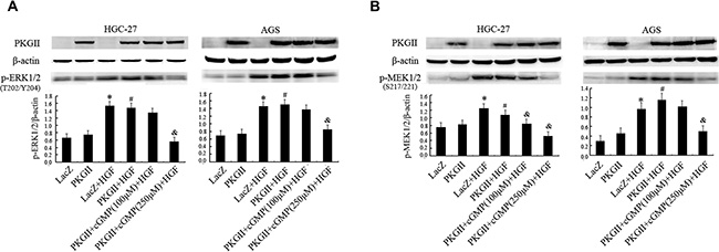 Analysis of the effect of PKG II on the activation of main components in MAPK/ERK pathway induced by HGF.