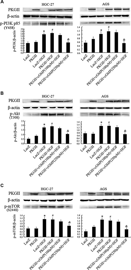 Analysis of the effect of PKG II on the activation of main components in PI3K/Akt/mTOR pathway induced by HGF.