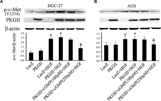 Analysis of the effect of PKG II on Tyr1234 phosphorylation of c-Met stimulated by HGF.