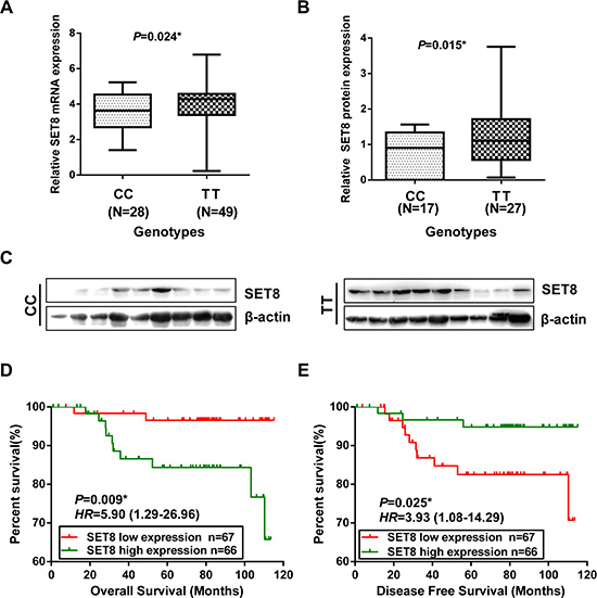 Functional relevance of SET8 3′-UTR SNP on SET8 expression and the association of SET8 expression with the prognosis of breast cancer patients.