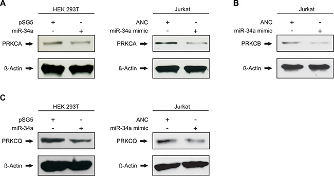 miR-34a-5p regulates the endogenous protein levels of PRKCA, PRKCB and PRKCQ.
