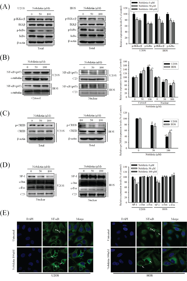 NF-κB and CREB are crucial to nobiletin-mediated transcriptional inhibition of MMP-2 and MMP-9.