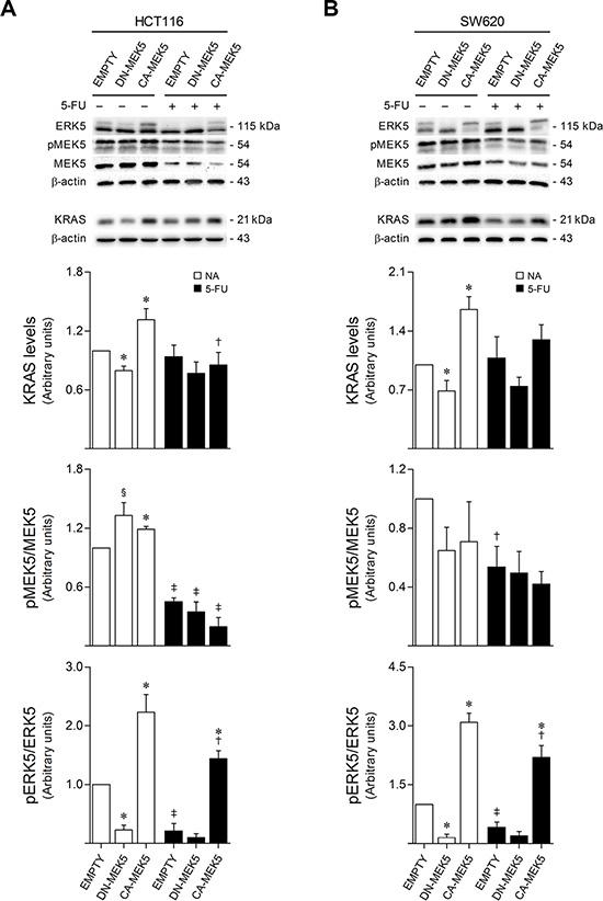 5-FU exposure reduces KRAS/MEK5/ERK5 protein expression and activation.