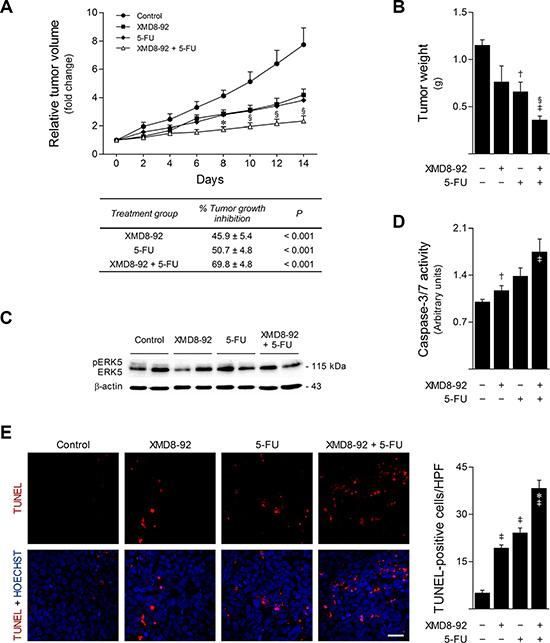ERK5 inhibition by XMD8-92 increases in vivo 5-FU anticancer activity.